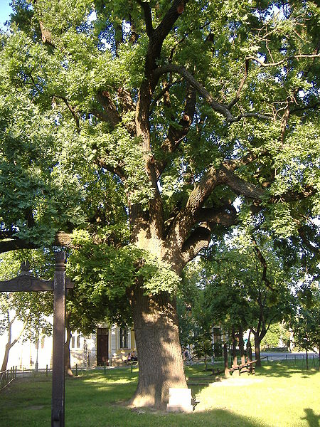 File:Juhász Gyula memorial tree.JPG