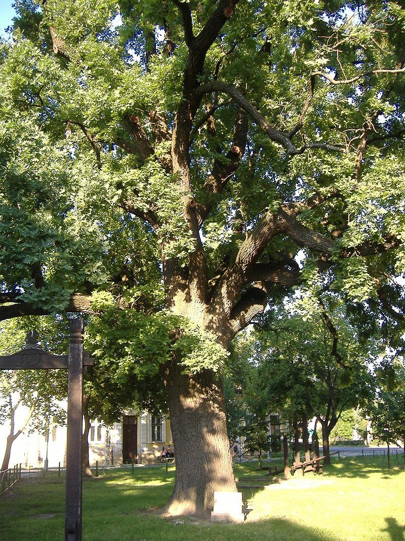 Quercus robur howlingpixel