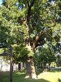 Juhász Gyula memorial tree.JPG