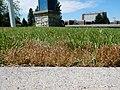 Juncus bufonius in a field.jpg