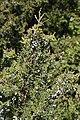 Juniperus maritima 6479.JPG
