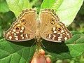 Junonia lemonias - Lemon Pansy 28.jpg