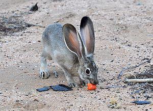 Black-tailed jackrabbit - Juvenile Black-tailed jackrabbit eating a carrot in the California Mojave desert.