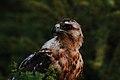 Juvenile Galápagos hawk (4201813197).jpg