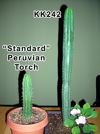 Echinopsis peruviana - KK242 vs. standard Peruvian torch cactus