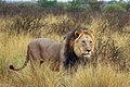 Kalahari lion (Panthera leo) male 8-9yr.jpg