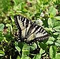 Kanadischer Tigerschwalbenschwanz (Papilio canadensis).jpg