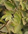 Kanju (Holoptelea integrifolia) leaves W IMG 1286.jpg