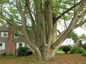 Newington, Connecticut - Katsura Tree in Newington, CT