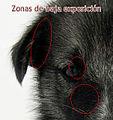 Keeshond sibirian husky crossbreed puppy ERRORES.jpg