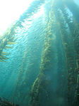 Kelp forest and sardines, San Clemente Island, Channel Islands, California.jpg