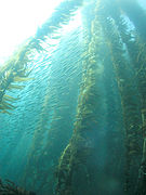 Kelp forest and sardines, San Clemente Island, Channel Islands, California