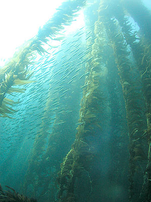 Trophic cascade - Healthy Pacific kelp forests, like this one at San Clemente Island of California's Channel Islands, have been shown to flourish when sea otters are present. When otters are absent, sea urchin populations can irrupt and severely degrade the kelp forest ecosystem.