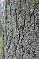 Kentucky Coffee Tree Gymnocladus dioicus Vertical Bark.JPG