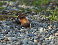 "Killdeer ""broken-wing act"".jpg"