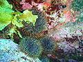Kina urchins, South East Bay, Three Kings Islands PA111322.JPG