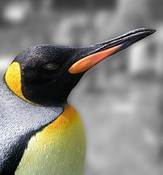 King Penguin portrait.jpg