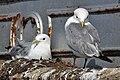 Kittiwake (5) - Mumbles Pier - geograph.org.uk - 1973199.jpg