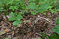 Klepachiv Kivertsivskyi Volynska-Oak and pine plantations natural monument-Rubus saxatilis.jpg