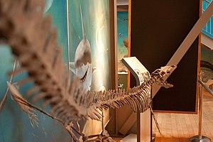 Kourisodon - Restored skeleton