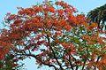 Krishnachura Tree.jpg
