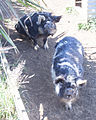 Kunekune pigs at the Waipoua Lodge.jpg