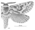 LEPI Hepialidae Aoraia macropis m2 pale form.png