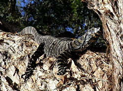 Lace Monitor Basking.JPG