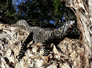 Buntwaran (Varanus varius), Myall Lakes National Park (New South Wales)