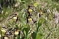 Lady's-Slipper Orchid - Cypripedium calceolus (14041398538).jpg