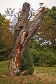 Laetiporus sulphureus (29033814914).jpg