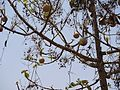 Lagenaria siceraria (5657022294).jpg