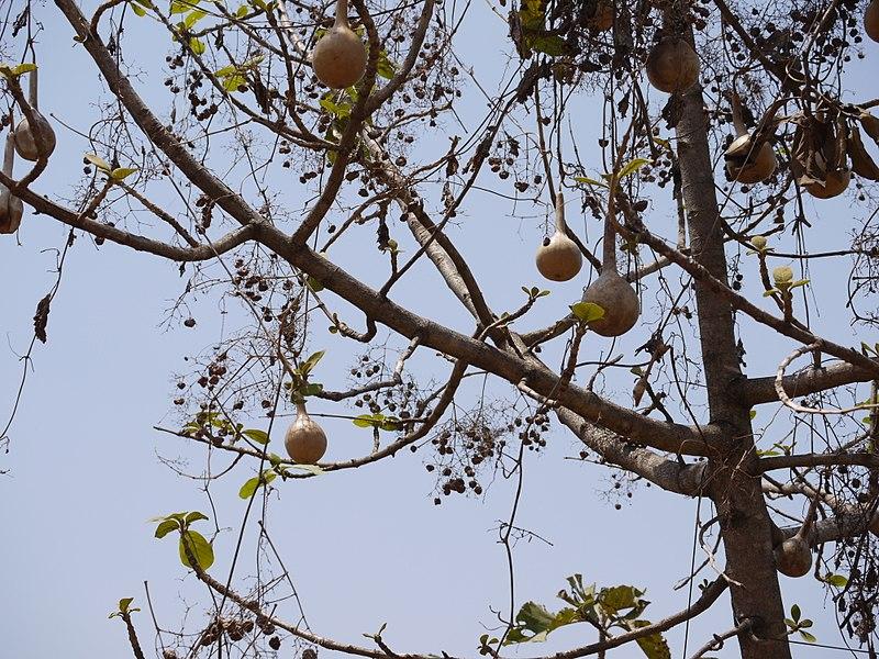 File:Lagenaria siceraria (5657022294).jpg