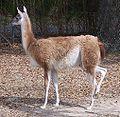 Lama guanicoe 2005-02-13.jpeg