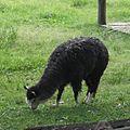 Lama guanicoe pacos, Parque Zoológico de Sapucaia do Sul, Brazil.jpg