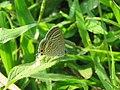 Lampides boeticus - Pea Blue at Aralam Wildlife sanctuary during Aralam butterfly survey 2020 (13).jpg
