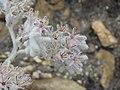 Lanaria lanata Flipphi 1.jpg