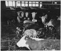 Lancaster County, Pennsylvania. Hogs and cattle are still, in some instances, kept in the same feed . . . - NARA - 521129.tif