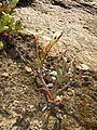 Lapeirousia fabricii (Iridaceae) (6929293061).jpg