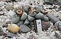Lapidaria margaretae (Aizoaceae) Nationale Plantentuin Meise 10-01-2010 14-50-54.JPG