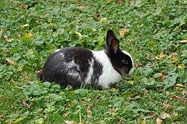 Lapin (Leporidae) (18).jpg