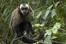 Large-headed capuchin (Sapajus macrocephalus) 3.jpg