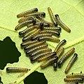 Large White Caterpillars (33441228940).jpg