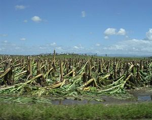 Devastation to Brenden Collins banana crop as ...