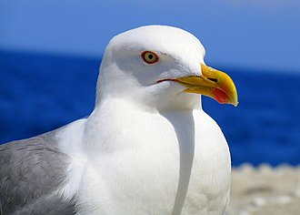 Yellow-legged gull - Nominate L. m. michahellis, Elba