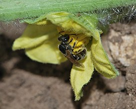 Lasioglossum malachurum female 1.jpg