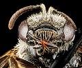 Lasioglossum oenotherae, F, face, Virginia, Page County 2012-12-13-14.54.04 ZS PMax (8285711064).jpg