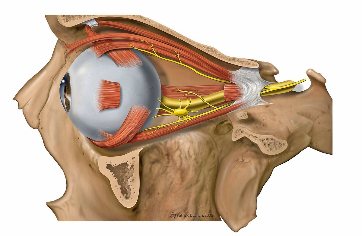 Augenmuskeln – Wikipedia