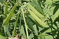 Lathyrus heterophyllus (Platterbse) IMG 28668.JPG