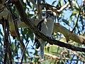 Laughing Kookaburra - Flickr - GregTheBusker (2).jpg